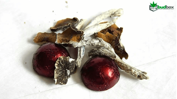 Psilocybe Cubensis Chocolates