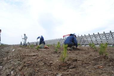 planting_of_black_pine_seedlings