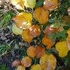 紅葉と竹切り