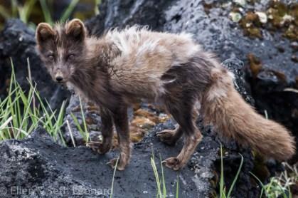 Arctic fox, blue morph