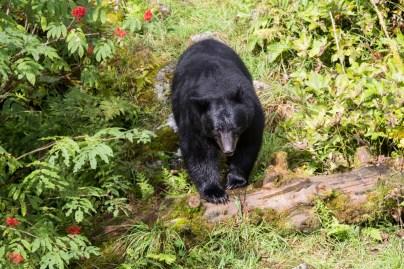 black-bear-se-alaska