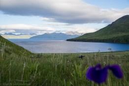 wild-iris
