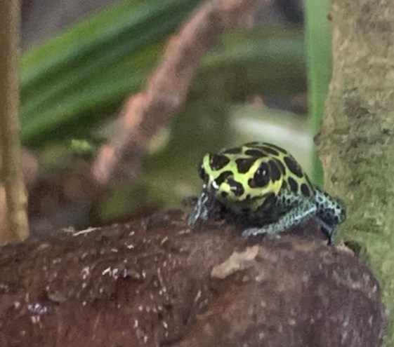 Imitating Poison Dart Frog