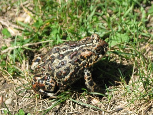 1280px-Canadian_Toad_-Anaxyrus_hemiophrys