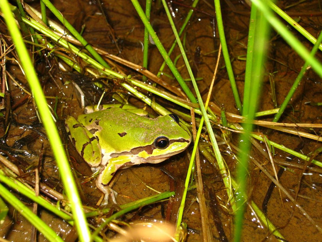 1280px-Mountain_Tree_Frog_(5416204989).jpg