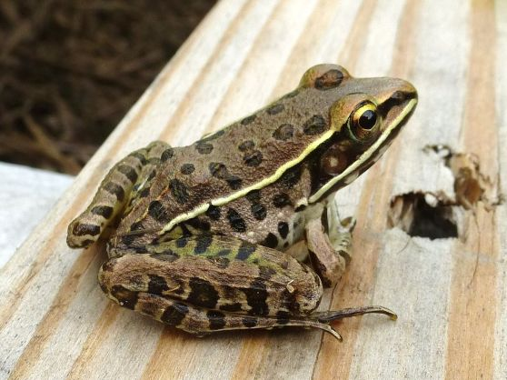 Southern_Leopard_Frog,_Missouri_Ozarks