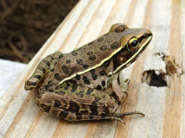 Southern_Leopard_Frog,_Missouri_Ozarks.JPG