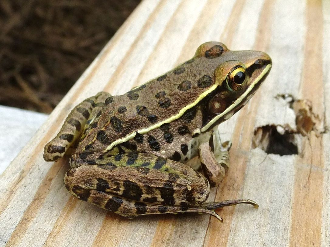 Frogs and Toads of Texas -