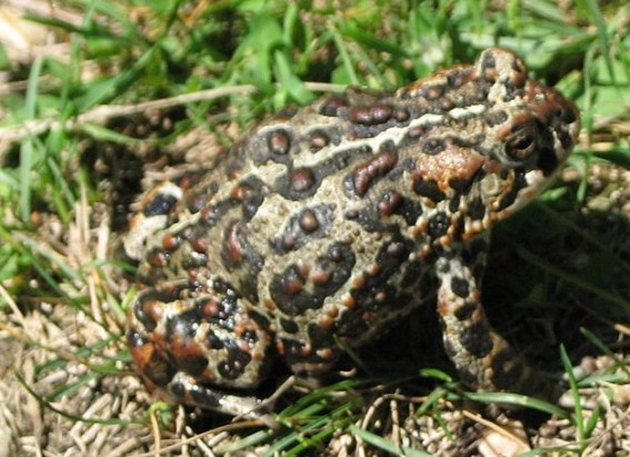Canadian_Toad_-Anaxyrus_hemiophrys
