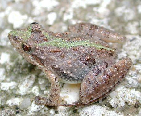 cricket_frog3