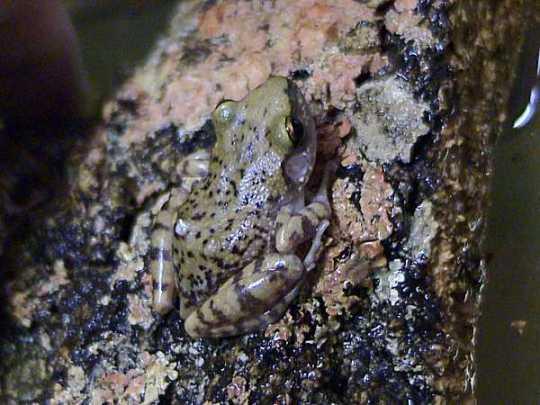 Cliff Chirping Frog (Eleutherodactylus marnockii)