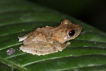 Frilled tree frog by Charlesjsharp