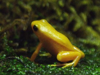 Golden Mantella by Robert Lawton