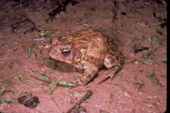 Houston_toad