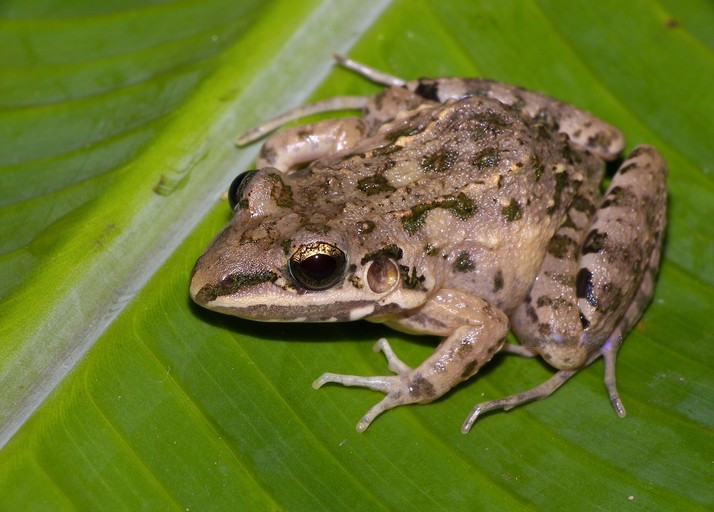 White-lipped Thin-Toed Frog