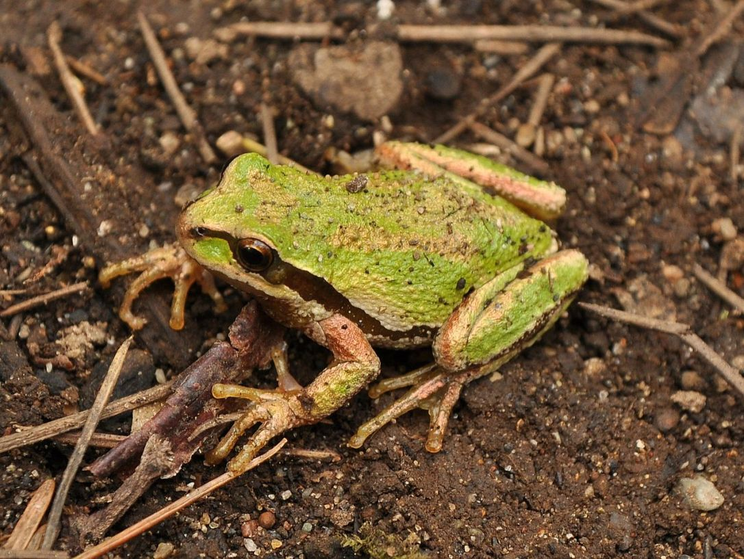 pacific tree frog