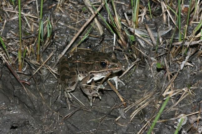 plains leopard frog