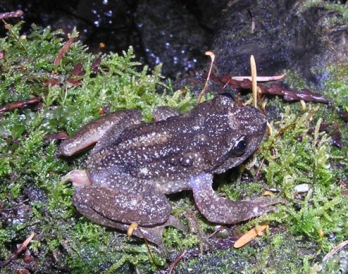 Rocky Mountain Tailed Frog by Ryan Killackey,