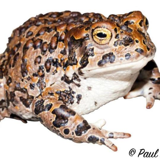 Female Yosemite Toad