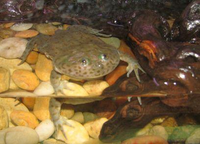 Budgett's Frog by Ltshears