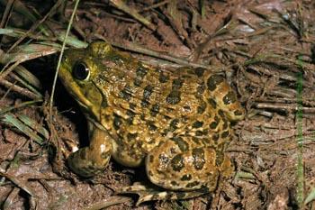 indian_bullfrog_1