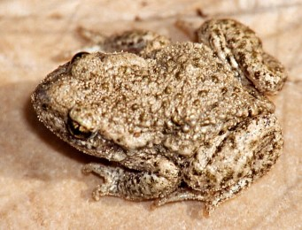 Common Midwife Toad by Christian Fischer