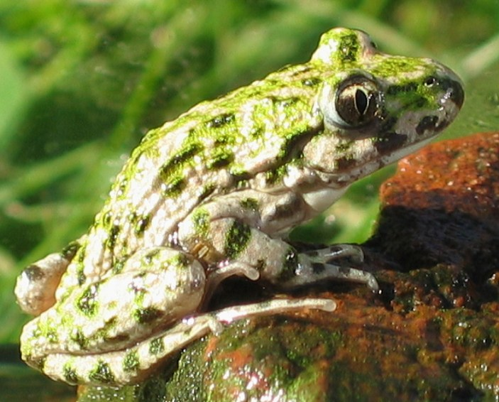 Common Parsley Frog by Teuteul