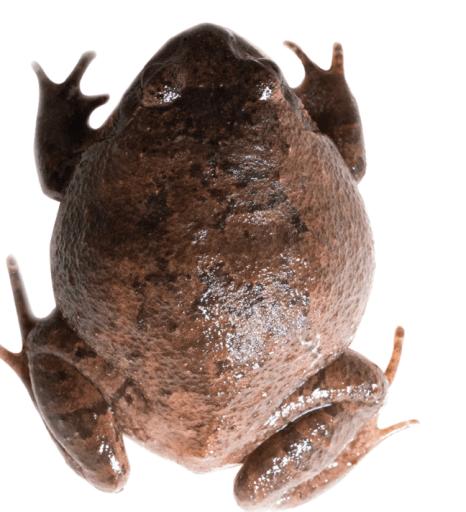 diamondfrog