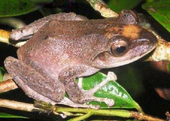 Fiji tree frog by Tamara.osborne