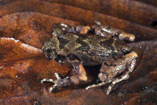 leaflitterfrog