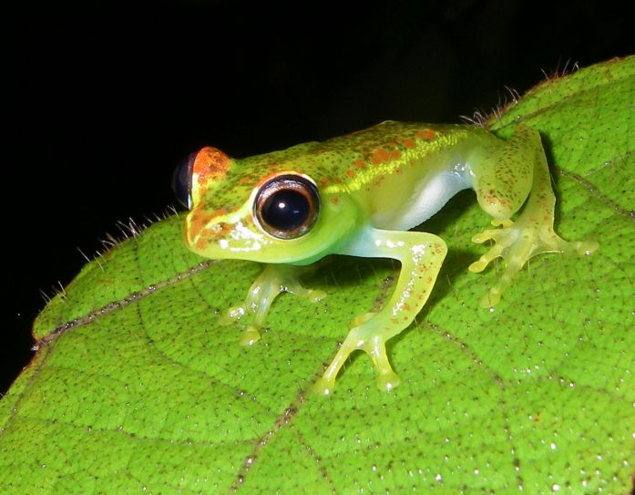 Central Bright Eyed Frog by AxelStrauss