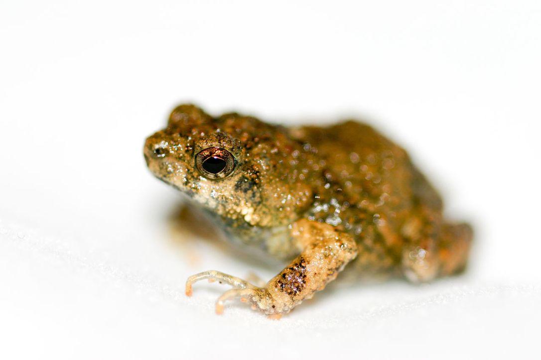 1280px-Tungara_frog_(Physalaemus_pustulosus)