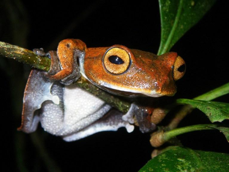Vampire Flying Frog