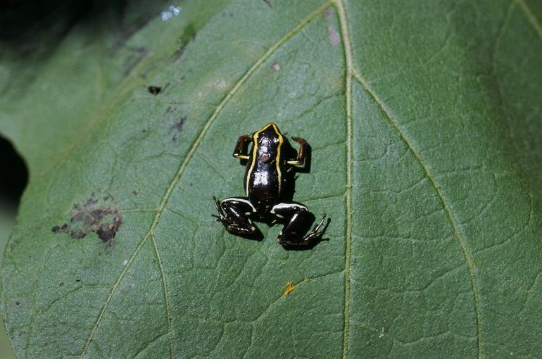 Eleutherodactylus_iberia10