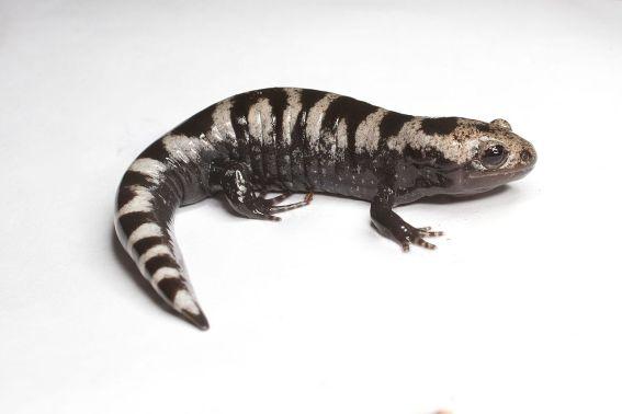 Marbled_salamander_(14367751333)