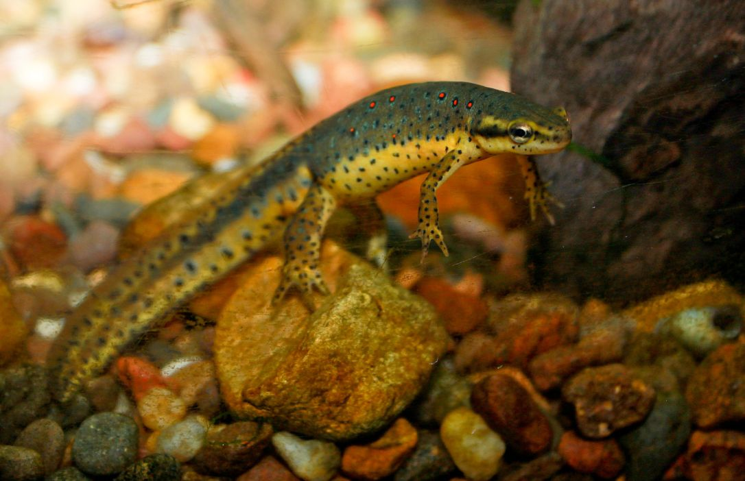 Redspotted_newt.jpg