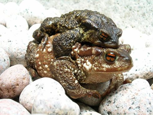Bufo_bufo_couple_during_migration(2005).jpg