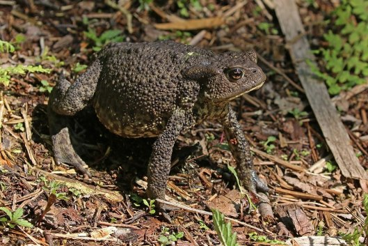 1280px-Common_toad_(Bufo_bufo)_Kampinos