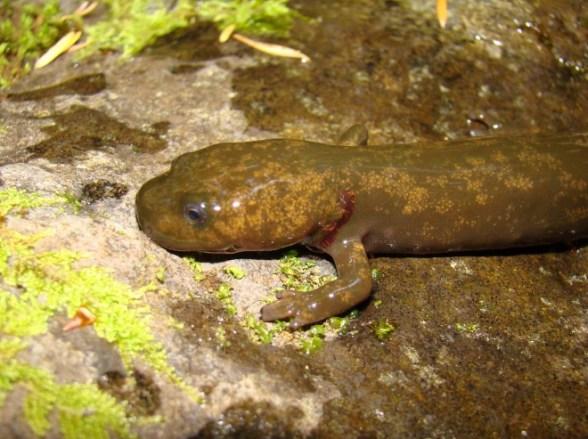 Dicamptodon_copei_larva.jpg