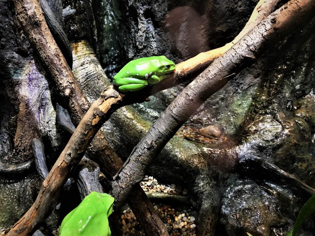 chineseglidingfrog