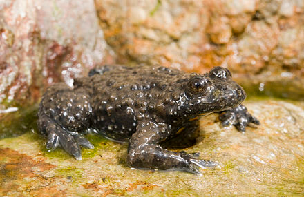 Alpine Yellow-Bellied Toad