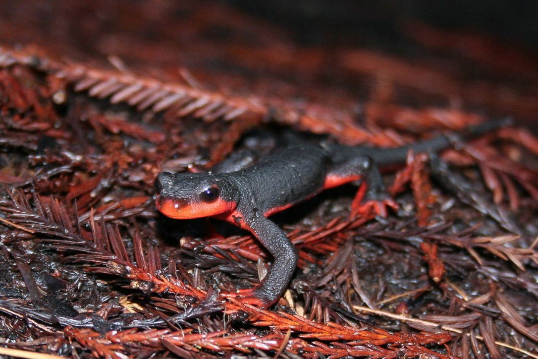 Red_Bellied_Newt_(Taricha_rivularis)