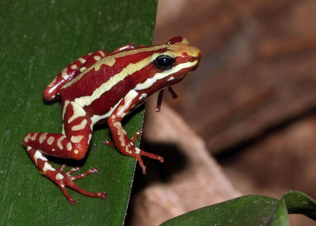 Phantasmal Poison Frog