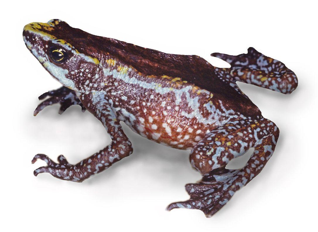 Chiriqui_harlequin_frog_-_Atelopus_chiriquiensis