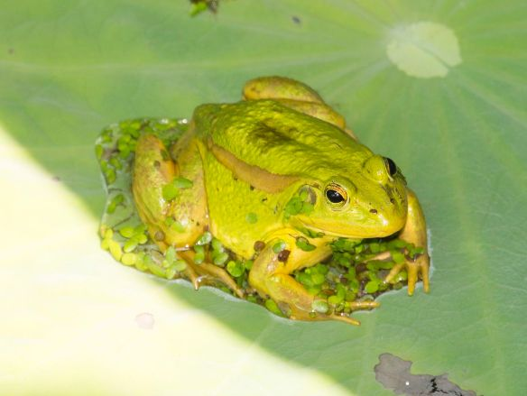 Pelophylax_chosenicus_(cropped)