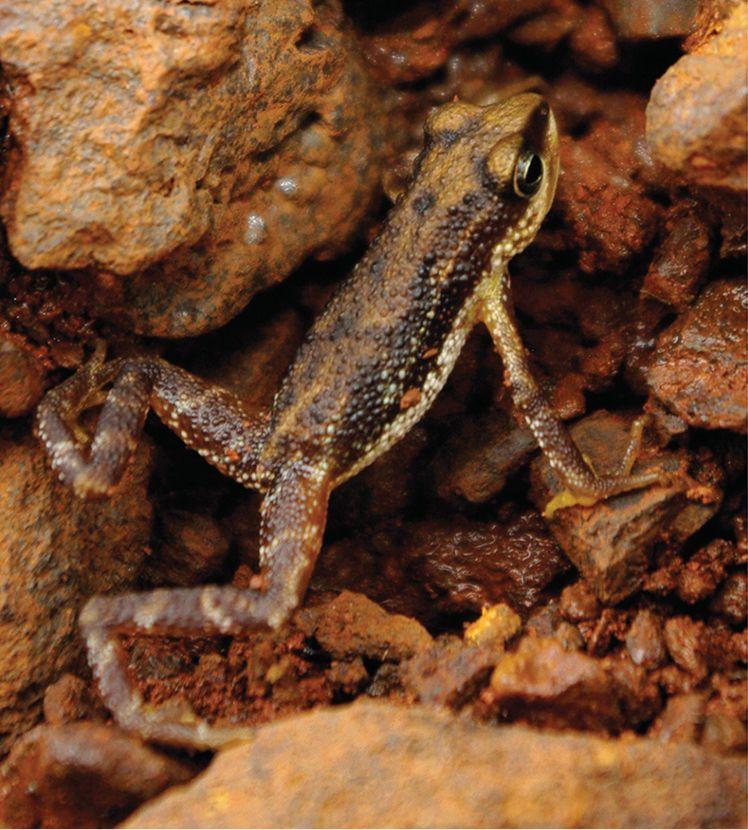 Mount Nimba Viviparous Toad