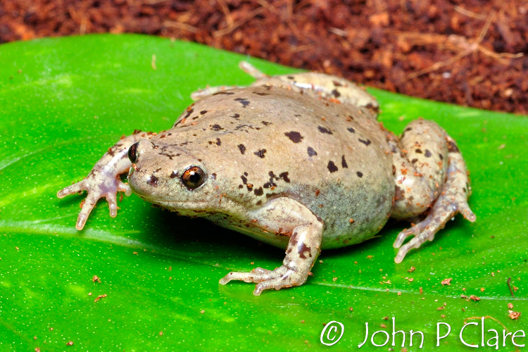 Great Plains Narrow Mouth Toad