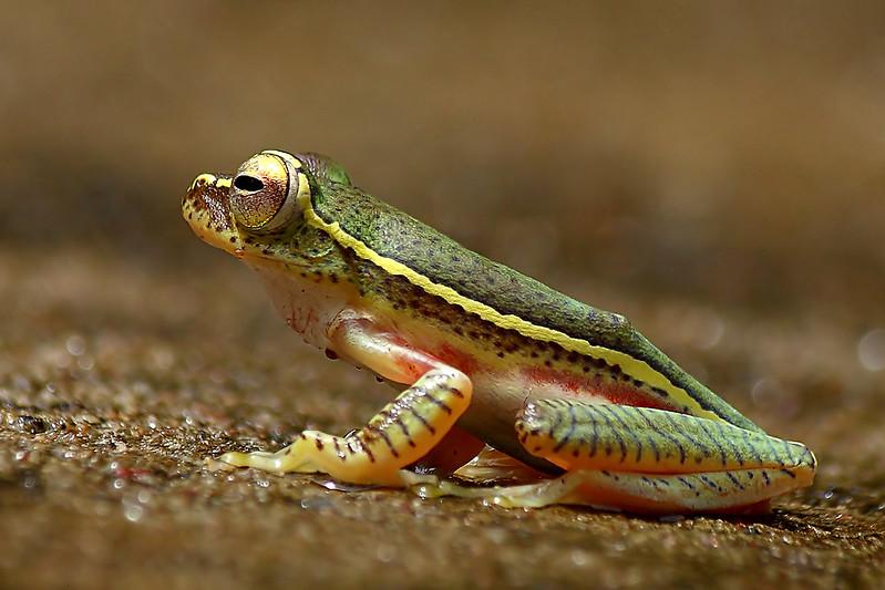 Small-Tree-Frog