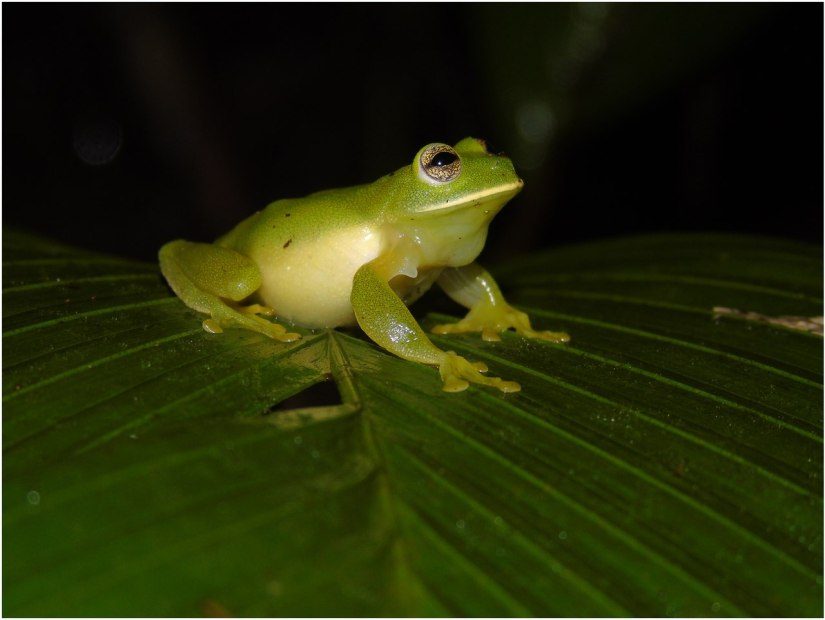 Magdalena Giant Glass Frog