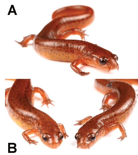 Carolina Sandhills Salamander